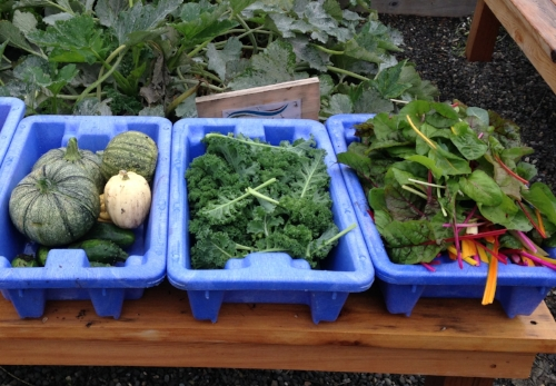 Squash, kale, and chard in the garden. There's more kale and chard growing right now, along with spinach, carrots, beets, and more!