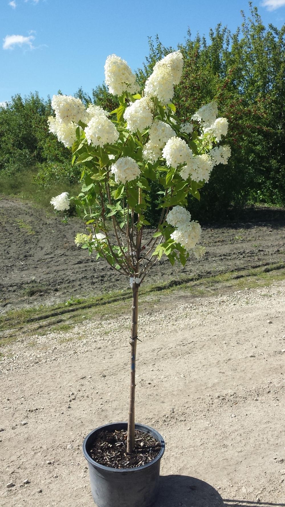 Limelight Hydrangea Standard