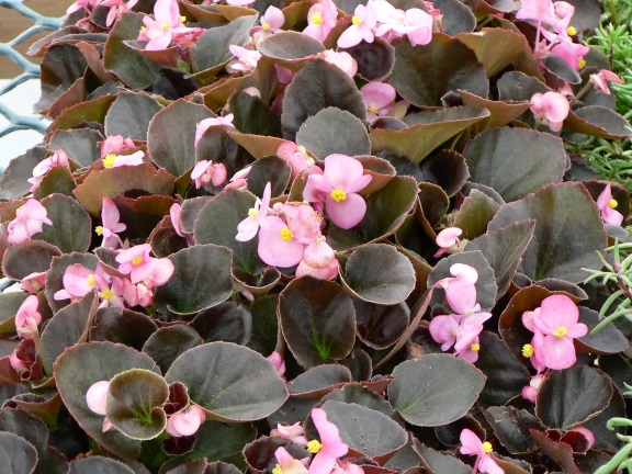 Begonia.jpg