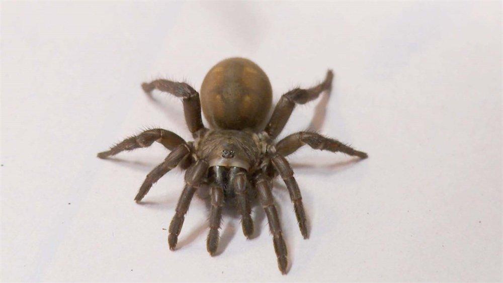 trapdoor spider.jpg