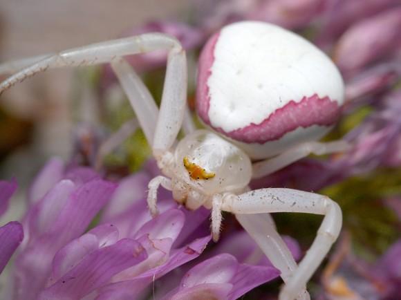 616743-goldenrod-crab-spider-e2e3d.jpg