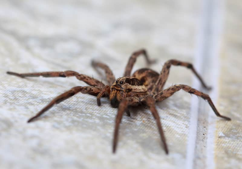 wolf-spider-on-floor-main.jpg
