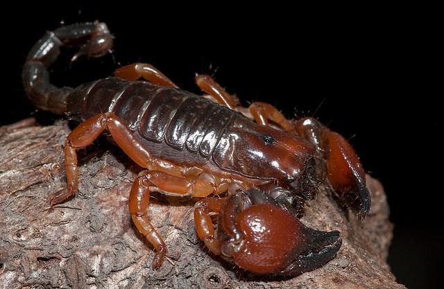 red claw scorpio.jpg