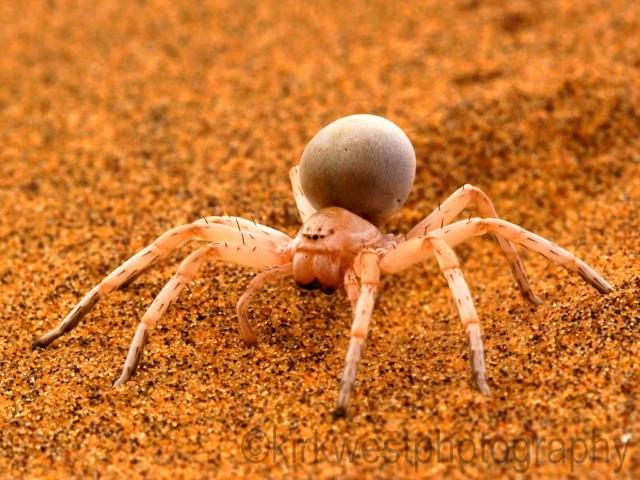 Primondian_Golden_Wheel_Spider.jpg