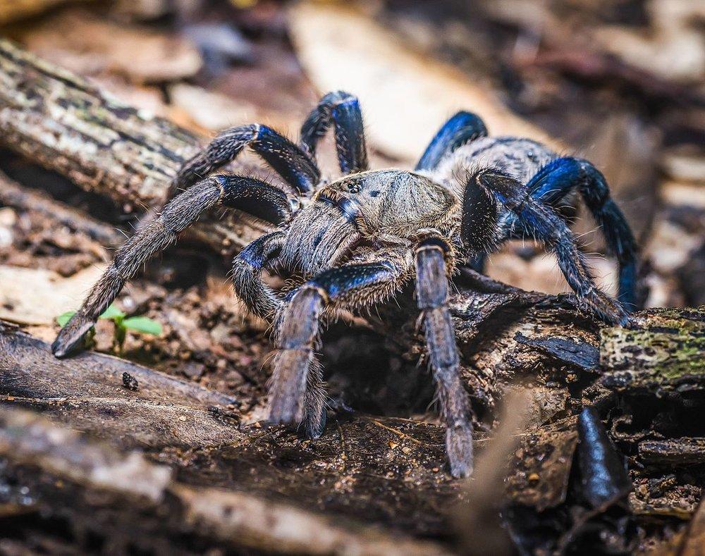 Haplopelma_lividum,_Cobalt_blue_tarantula_cropped.jpg