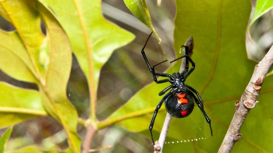 black-widow-leaves.adapt.945.1.jpg