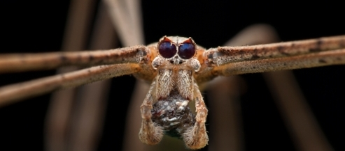 female_ogre_faced_spider_with_prey_by_melvynyeo-d6cuqvp.jpg