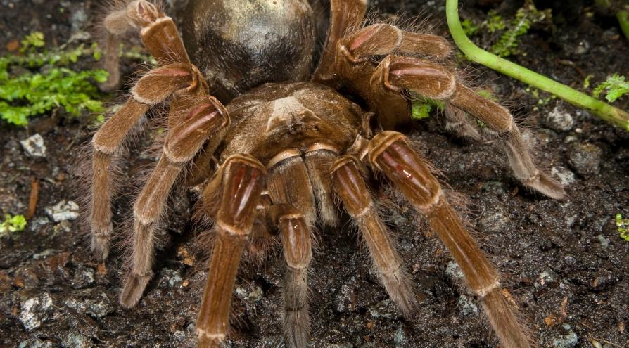 chinese bird spider(1).jpg