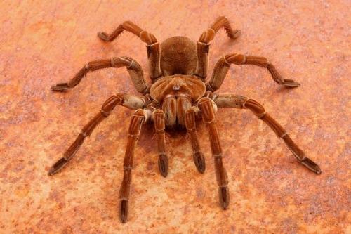Goliath-Birdeater-Tarantula-Spider.jpg.638x0_q80_crop-smart.jpg