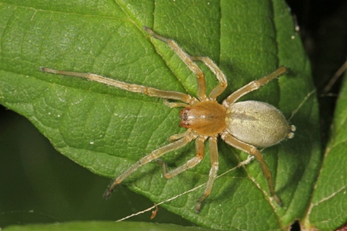 Long-legged_Sac_Spider_-_Cheiracanthium_sp.,_Pateros,_Washington.jpg