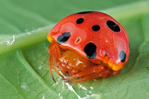 ladybird-mimic-spider.jpg