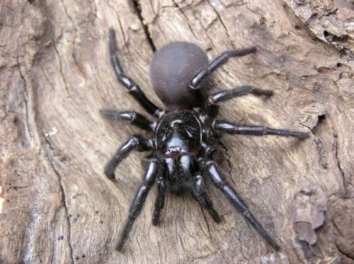 spiders_au_sydney_funnel_web-1030x771.jpg
