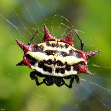 Jewelled-Spider.jpeg