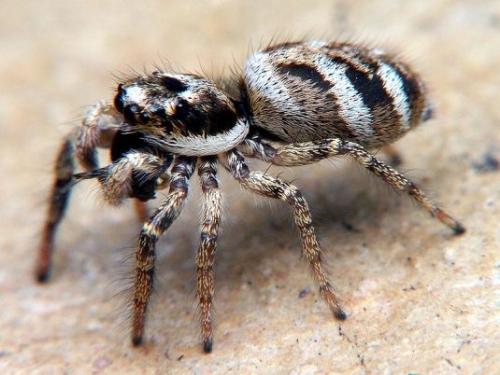 zebra_spider_picture.jpg