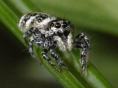 zebra_spider_8756.jpg-nggid042853-ngg0dyn-376x282x100-00f0w010c010r110f110r010t010.jpg