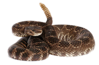 rattle snake.png
