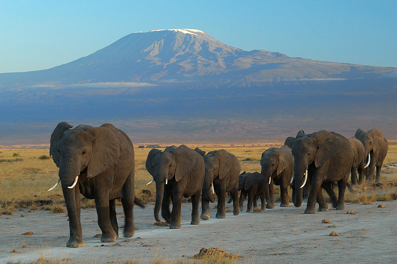 Elephants_at_Amboseli_national_park_against_Mount_Kilimanjaro.jpg
