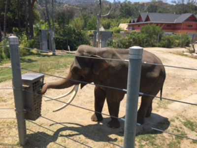 Billy the Elephant at the Los Angeles Zoo