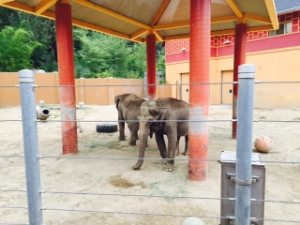 "Tina and Jewel in ""elephant enrichment yard"""