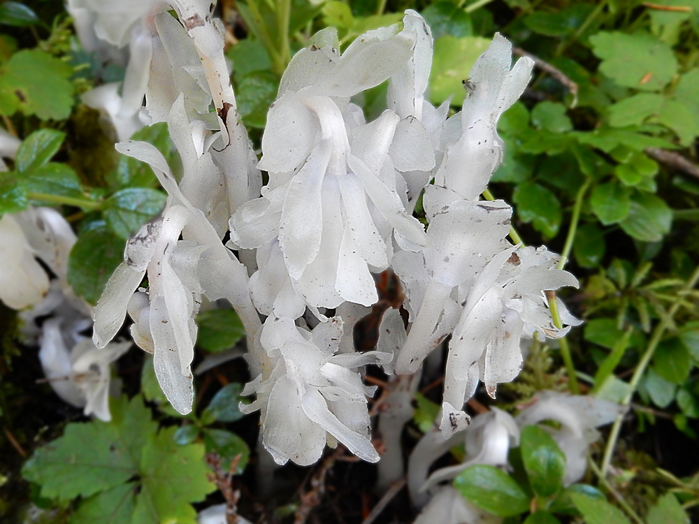 SUMMER - Single-Flowered Indian Pipe (Ghost Plant)