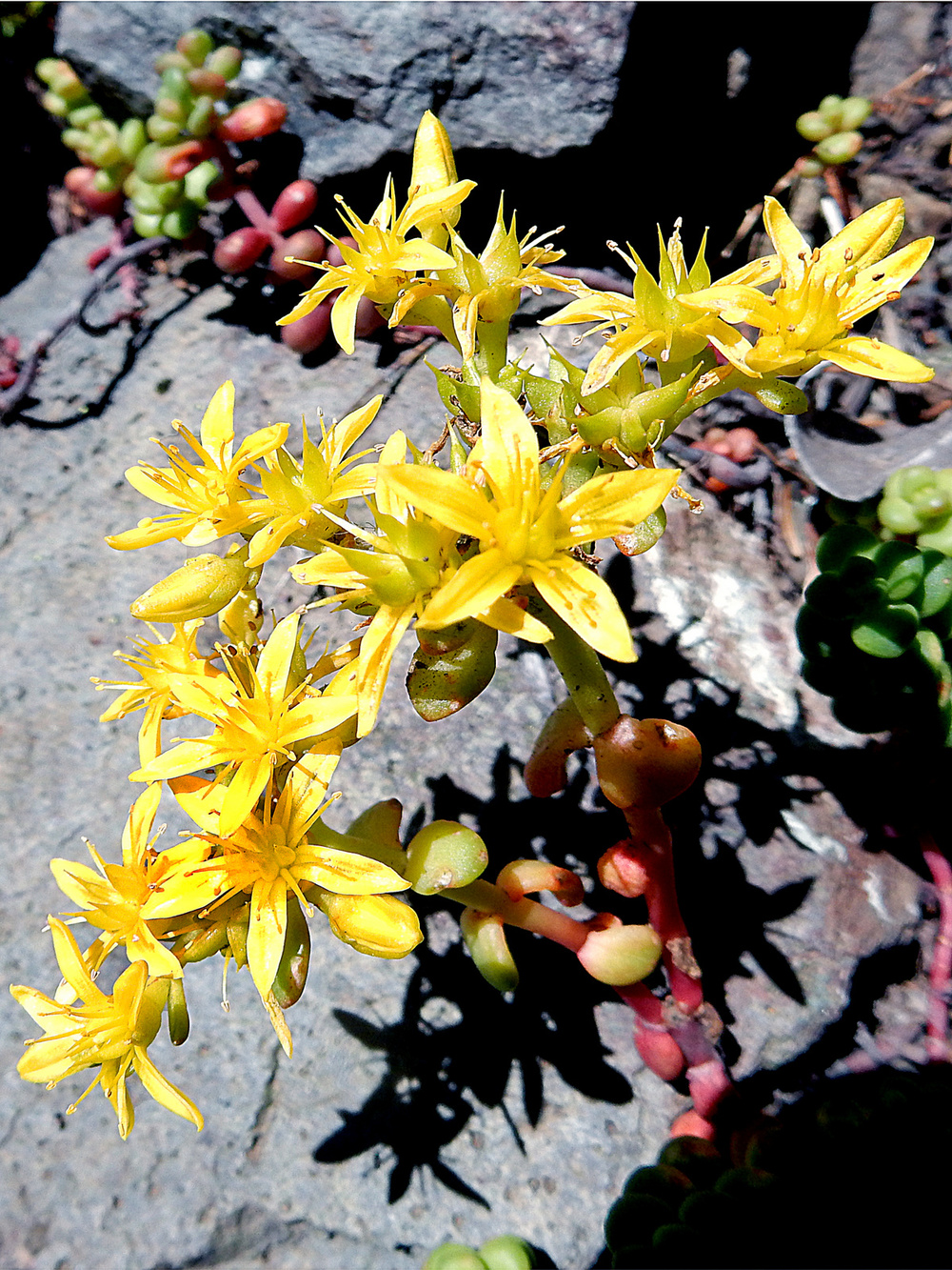 SUMMER - Pacific Stonecrop