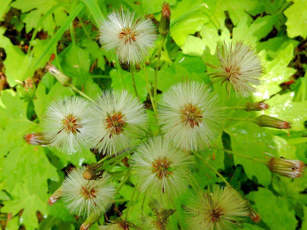 SUMMER - Dandelions