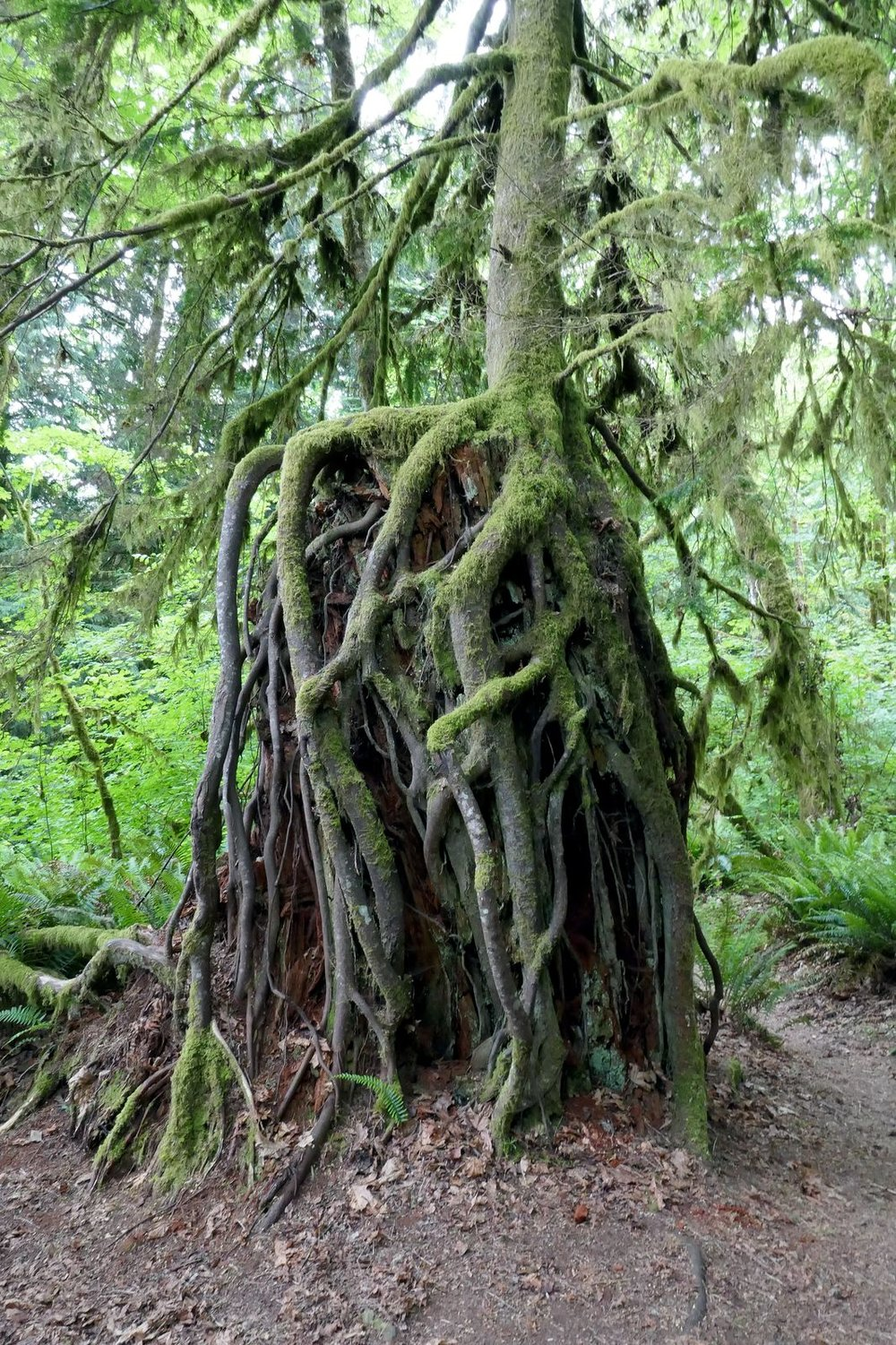 A living tree 10 feet off the ground with roots surrounding a stump