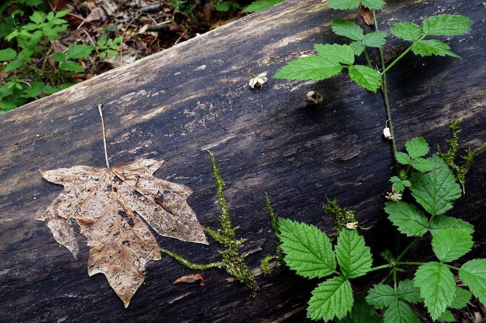A leftover Maple leaf