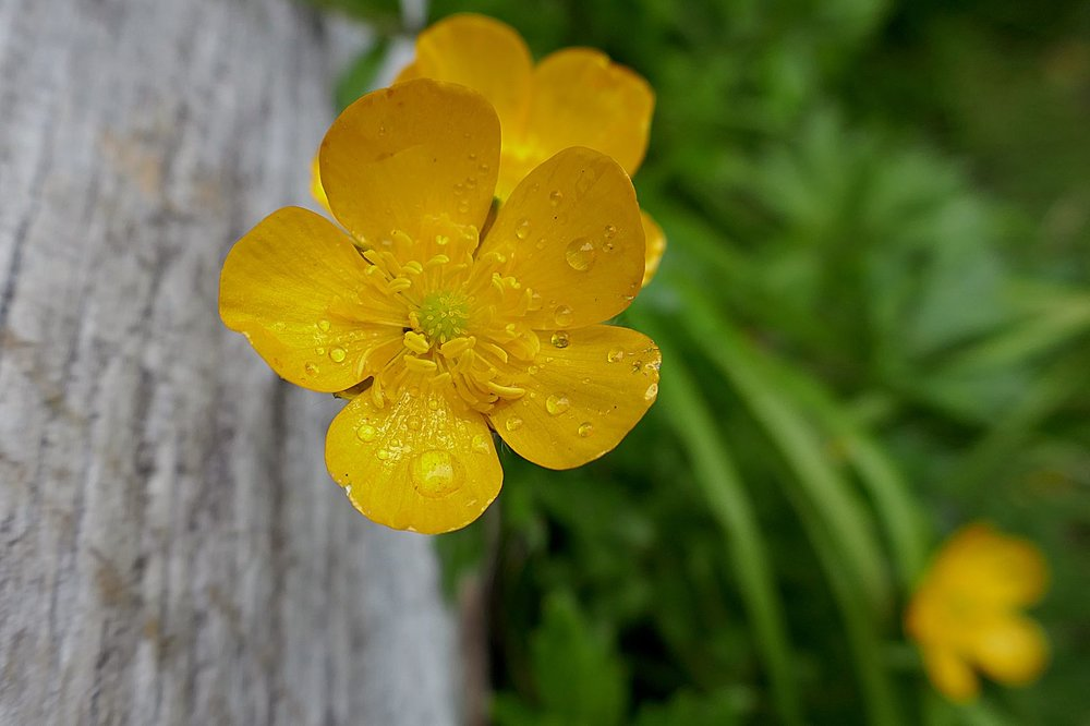 I like the water droplets on the peddles -- Shrubby Cinquefoil