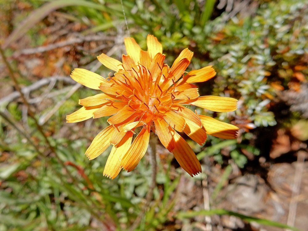 Lyall's  Goldenweed