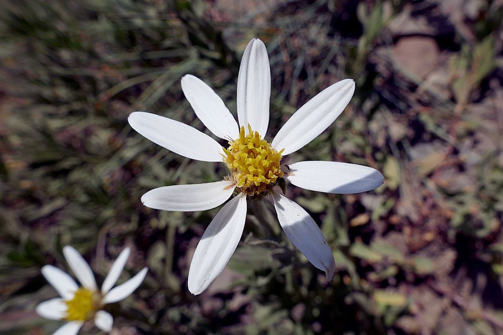 Olympic Mountain Aster -- Aster Family