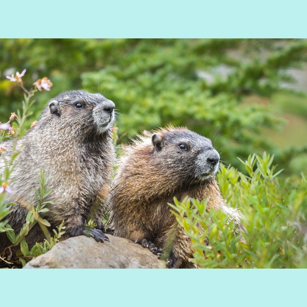 Two Cute Marmots