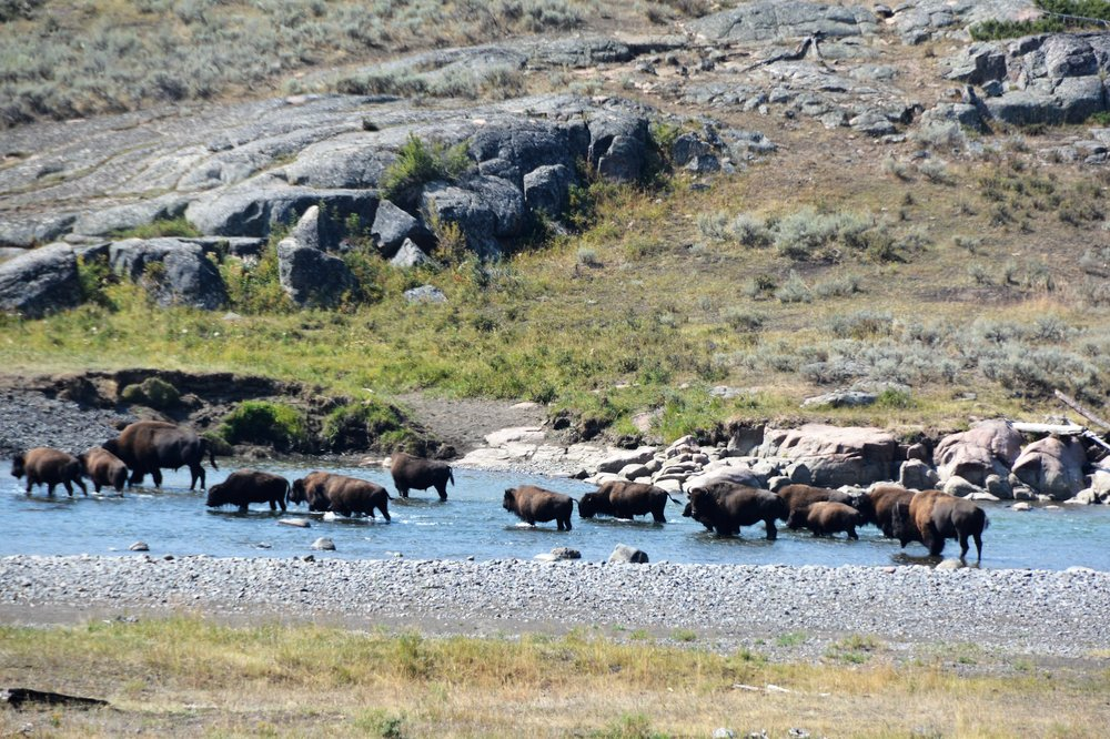 Big herd of bison in Lamar River area
