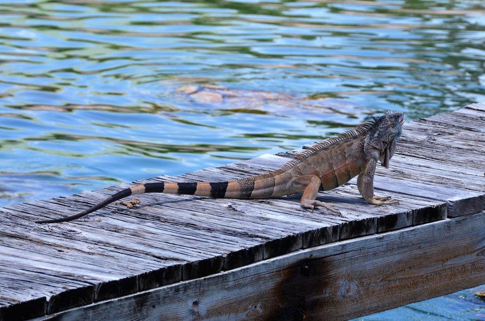 Iguana, Cayman Turtle Centre