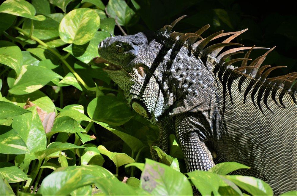 Iguana crossing, Gumbalimba Preserve