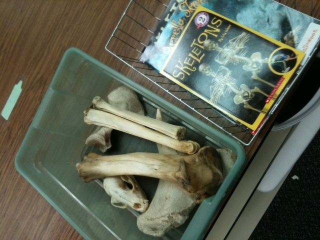 These bones were purchased throughout the years from the neighborhood butcher. Some have been gifted from parents who live on farms, or have simply found bones along their paths.