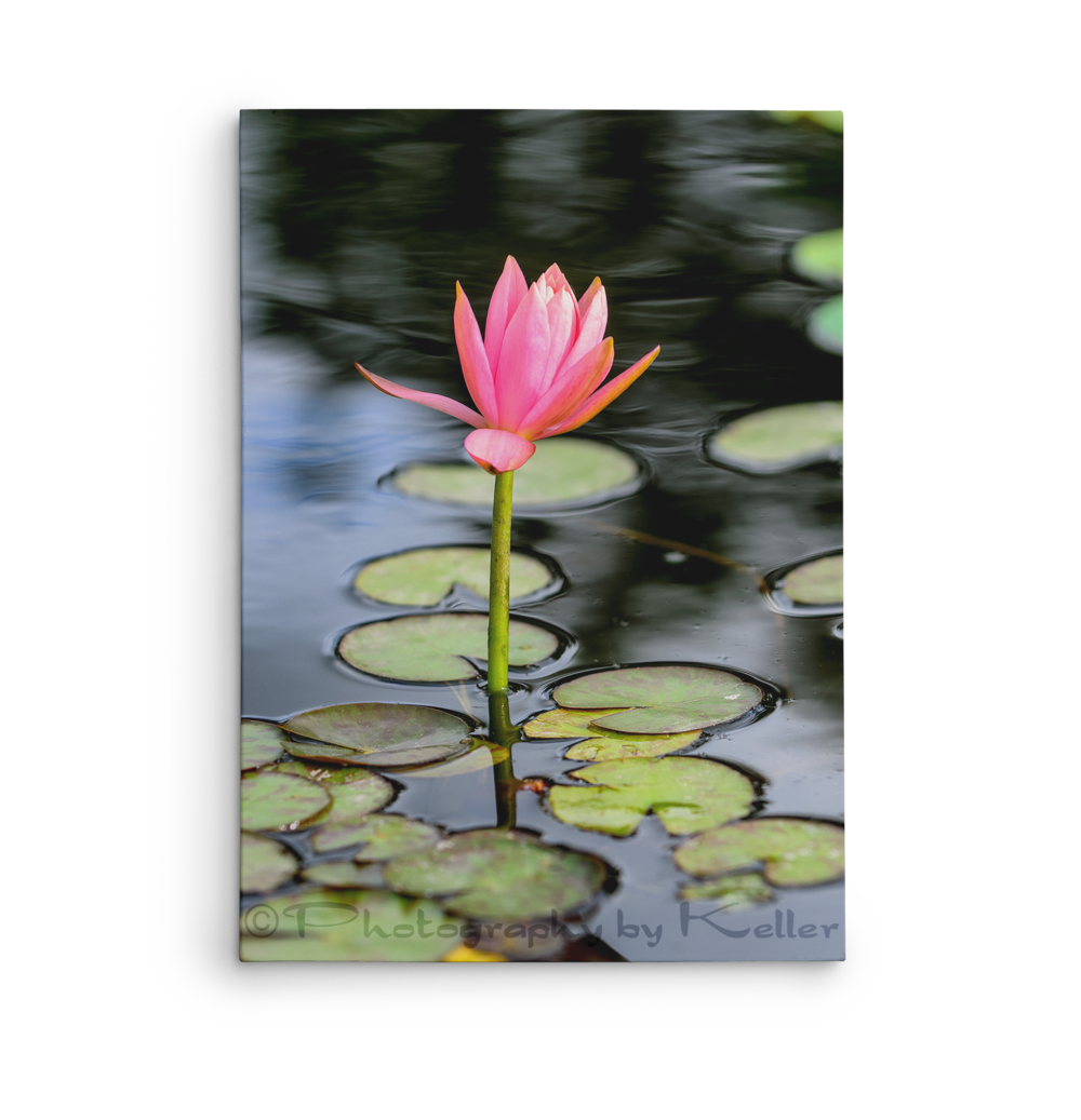 Lotus Flower Photography By Keller