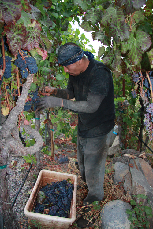 Photo-Diary-Ceja-Vineyards-2012-Harvest-trabajador