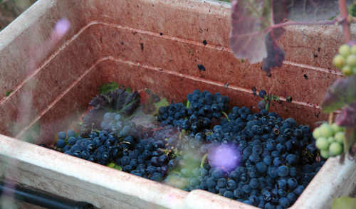 Photo-Diary-Ceja-Vineyards-2012-Harvest-Grape-Cluster
