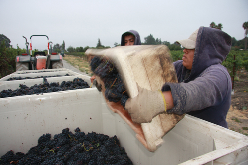 Photo-Diary-Ceja-Vineyards-2012-Harvest-Unloading