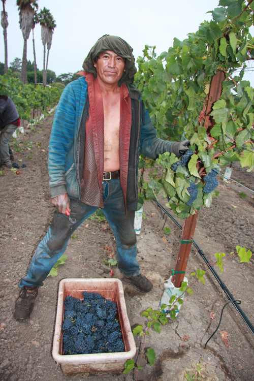 Photo-Diary-Ceja-Vineyards-2012-Harvest-Campesino