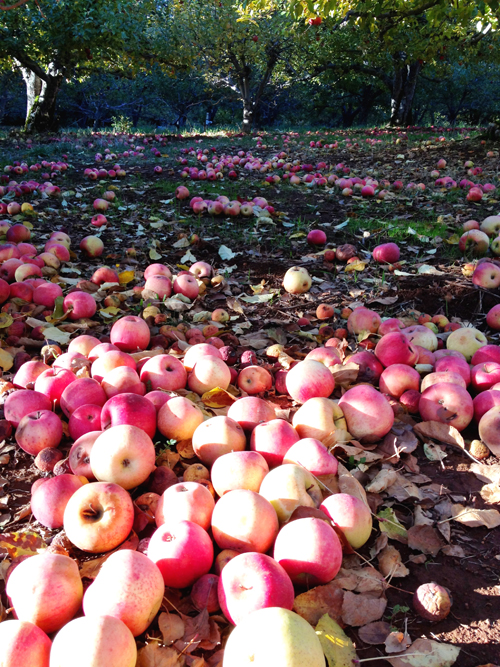 Take-Me-to-Apple-Hill-Apples