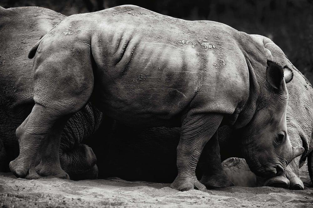 madikwe rhino_8112.jpg
