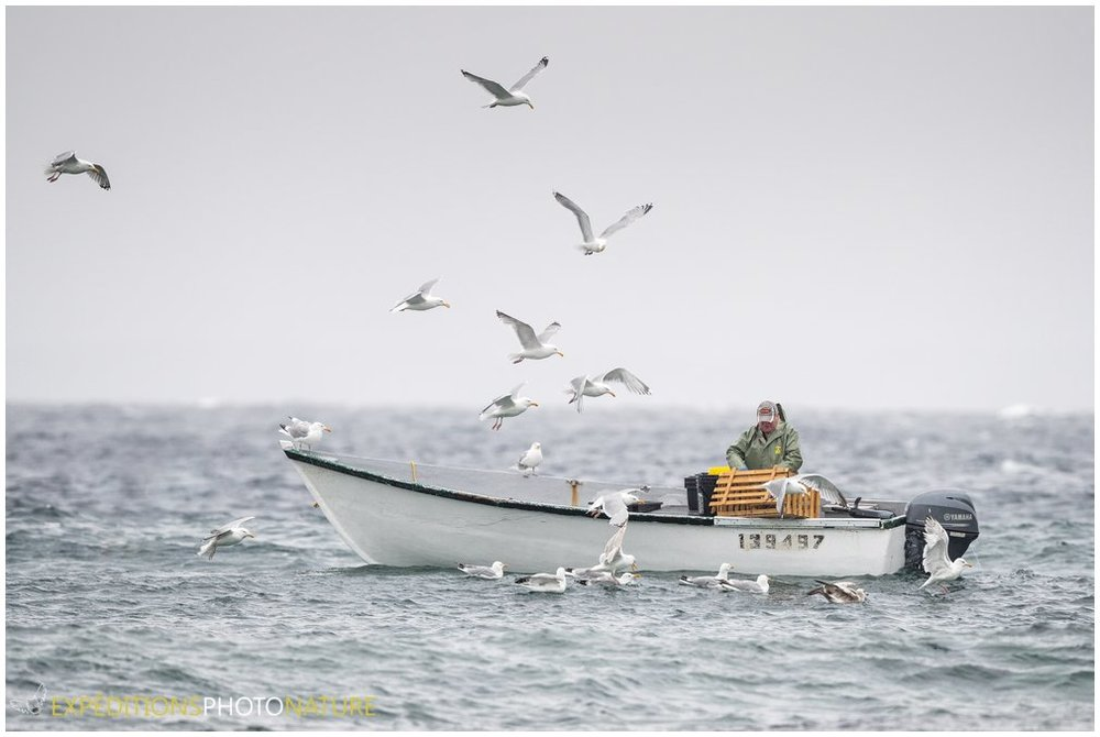 Un pêcheur ramassant ses prises dans la baie de Crow Head, Twillingate en ce samedi matin par un temps brumeux et un beau 3 degrés - Crédit photo: Pierre Giard