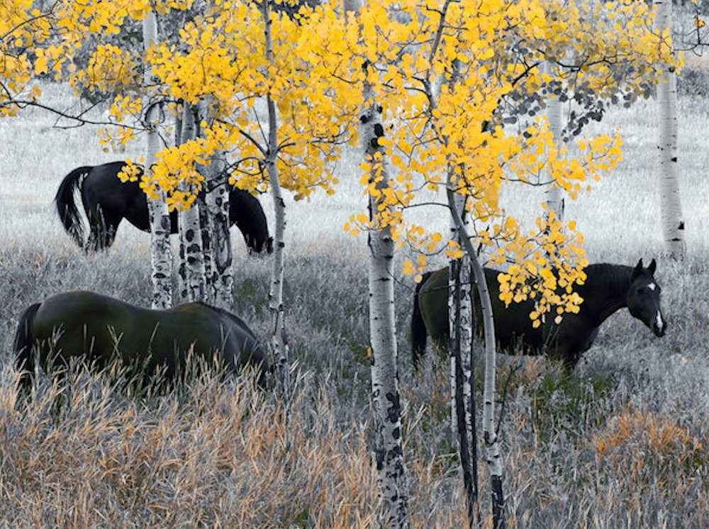 horses_and_aspens_large.jpg