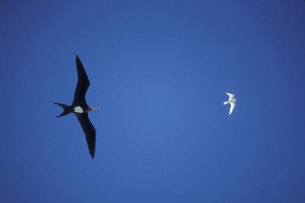 frigate chasing tern sm.jpg