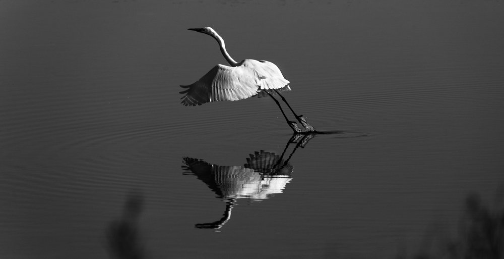 Great White Egret BW II web.jpg