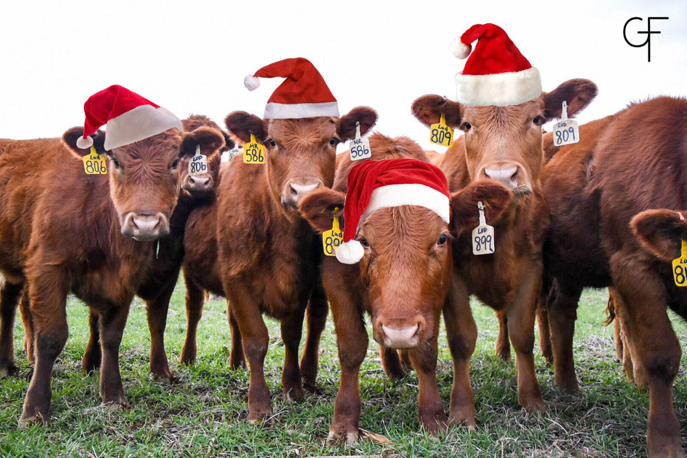 The heifers insisted on wearing their hats for their Christmas photo!