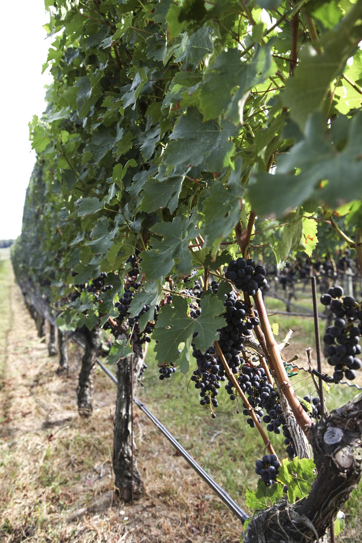 vineyard8.jpg