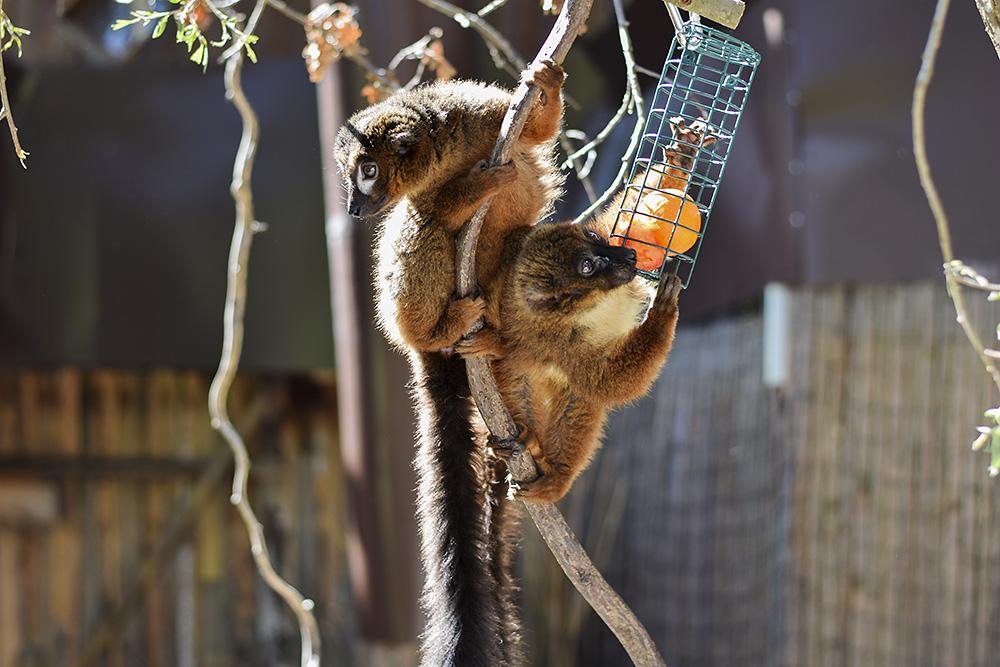 Lemurerna som vi träffade på i början av den dalande intressekurvan.